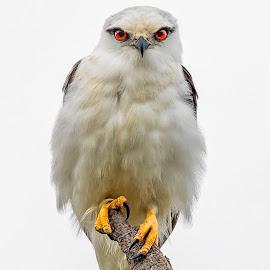 Black Shouldered Kite - Australia by Andrew Franks - Animals Birds ( raptor, bird, australia, kite, eyes )
