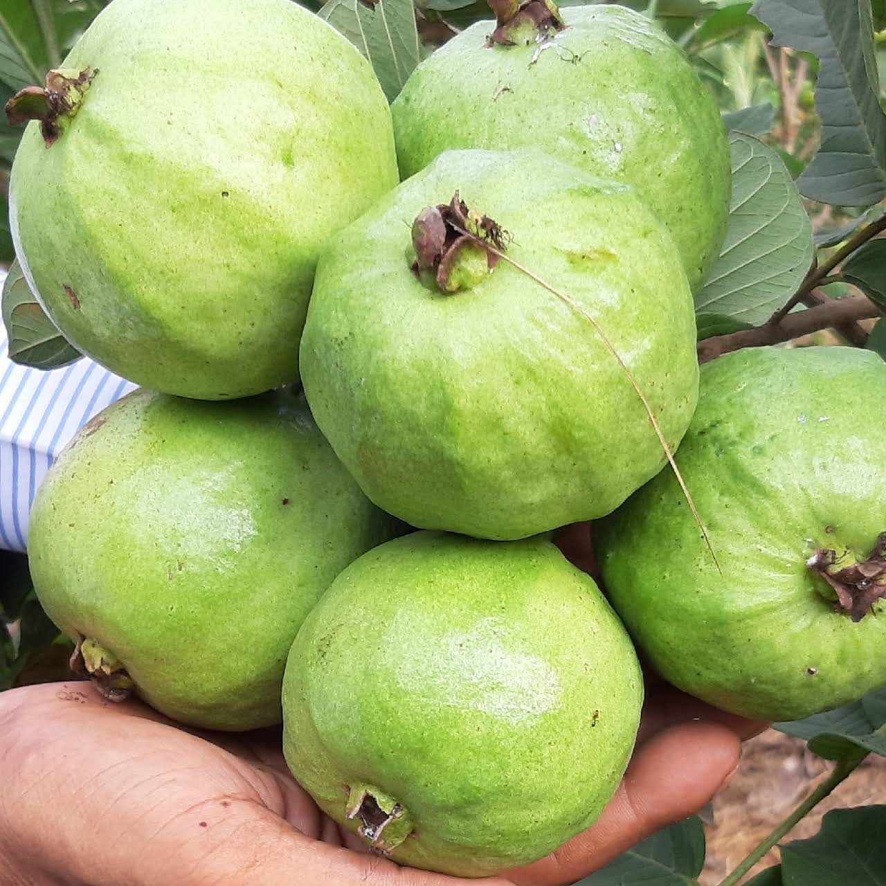 Siri clones - Plants Nursery in Jangareddigudem