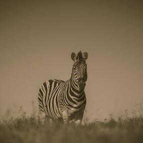 Zebra  by Johann Bekker - Novices Only Wildlife