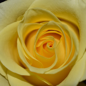 Yellow Rose  by Matthew Robert - Flowers Single Flower
