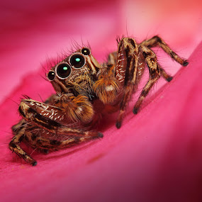 Monster in Red by Alamsyah Rauf - Animals Insects & Spiders ( macro )