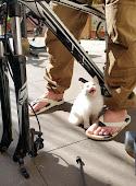 Анкгорские кошки отличаются любознательностью и общительностью