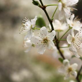 Blooming  by Jennifer Watkins Odom - Flowers Tree Blossoms
