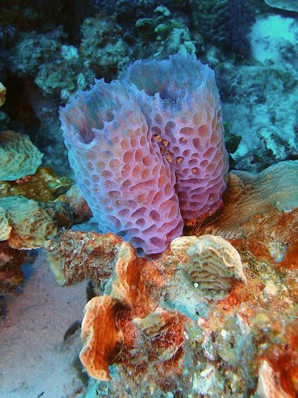 Azure Vase Sponge Project Noah