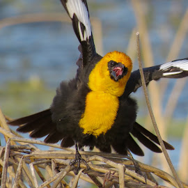 Yellow Headed Blackbird  by Nick Swan - Animals Birds ( yellow headed, nature, blackbird, bird, wildlife )