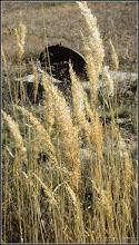 Photo: Stuf, Trestie (Phragmites australis) - din zona Durgau-Valea Sarata - 2017.03.29
