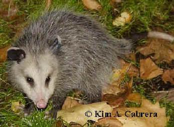 Opossum photo taken in summer 2000 by Kim A.Cabrera.