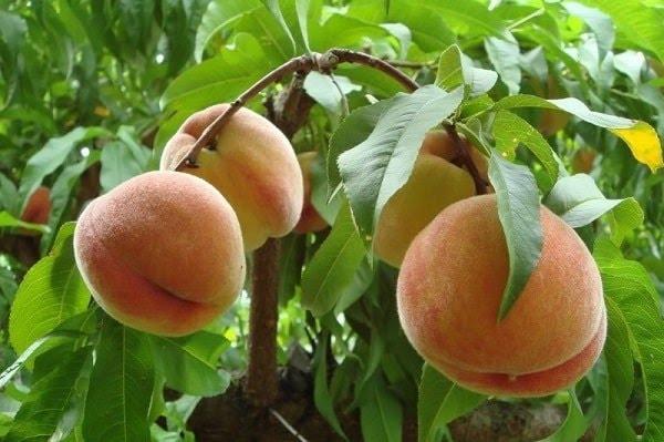 Tứa nước miếng với mùa trái cây Sapa - Ảnh 2
