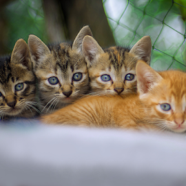 Kitten Eyes by Kriswanto Ginting's - Animals - Cats Kittens ( nikon, kitten, cat, nikon d7100, kitty )