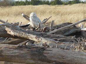 Photo: Snowy Owl