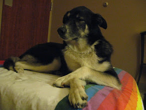 Photo: Zura, a shy and loving massage client, is a Husky mix. She enjoys the quiet time and relaxes throughout the session.