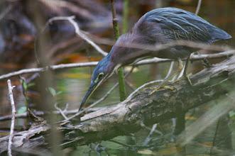 Photo: Little Green Heron