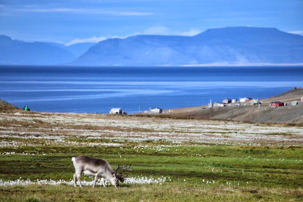 Fuglefjella, renifer spitsbergeński, trekking na Spitsbergenie