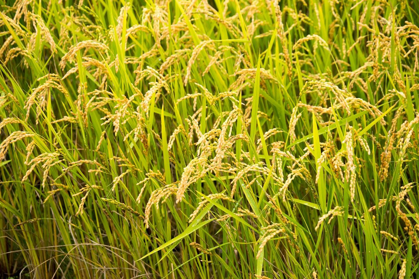 竹橋さんの圃場・水稲