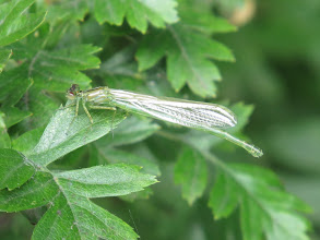 Photo: 24 Jul 13 Trench Lock Pool: I'm inclined to think this is a very recently emerged female Emerald Damselfly (Lestes sponsa) but has yet to get its full adult colouration. (Ed Wilson)