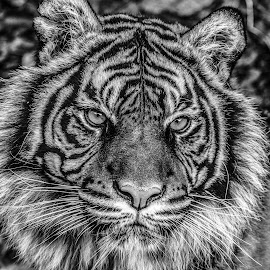 Daseep by Garry Chisholm - Black & White Animals ( big cat, garry chisholm, predator, nature, tiger, black and white, wildlife )