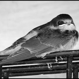 Barn Swallow by Dave Lipchen - Black & White Animals ( barn swallow )