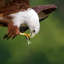 BRAHMINY KITE / RED BACKED SEA EAGLE