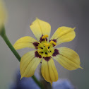 Yellow Blue-eyed Grass