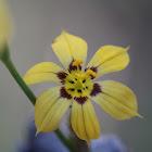 Yellow Blue-eyed Grass