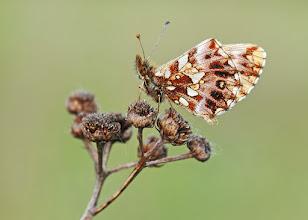 Photo: Boloria dia, Petite Violette, Weaver's Fritillar  http://lepidoptera-butterflies.blogspot.com/