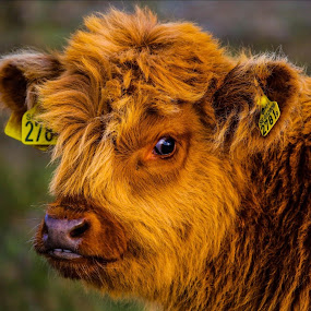 Highland by Christian Wilen - Animals Other ( cirre1,  )