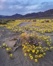 Photo: Golden Evening Primrose (Camissonia brevipes) #deathvalley #superbloom2016 #iPhone6Splus