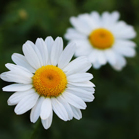 Wild Daisies by Arifah Mardiningrum - Flowers Flowers in the Wild ( wild, summer, daisy, white and yellow, garden, flower )
