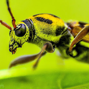 Unknown Insect by Suman Basak - Animals Insects & Spiders ( macro, fly, green, wildlife, insect, portrait, eyes )