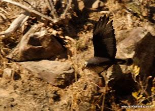 Photo: Zone-tailed Hawk coursing over Peso Island near San Blas