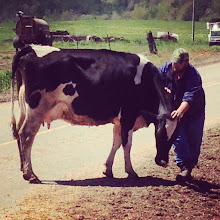 Photo: Cow no.88 wouldn't get out of the road until she had her head and neck rubbed.