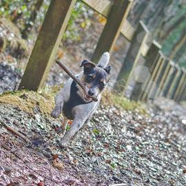 Fetch !!! by Tony Munro - Animals - Dogs Running ( #fetch, #carrotorstick, #outdoors, #exercisingthedog, #jackrussel, #familypet, #tireless, #inthewoods, #bokeh, #happydog, #dailyexercise )