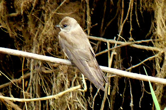 Photo: Northern Rough-winged Swallow: http://www.allaboutbirds.org/guide/Northern_Rough-winged_Swallow/id
