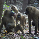 Guinea Baboon troop