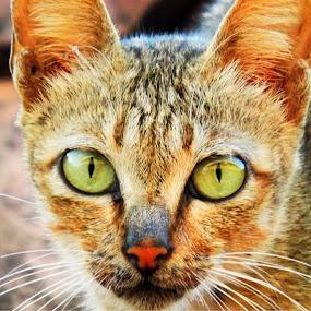 by Afandi Nugroho - Animals - Cats Portraits