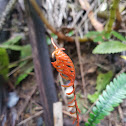NZ fern, Blechnum sp