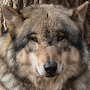 Wolf Wallpapers APK icon