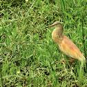 Heron  -  Common Squacco Heron