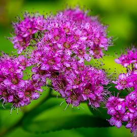 Spirea by Ed Stines - Flowers Flower Gardens ( flowers, usa, wilson, nature, nc, plant, flower garden, flower, pink spirea,  )