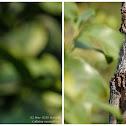 Calotes versicolor 變色樹蜥
