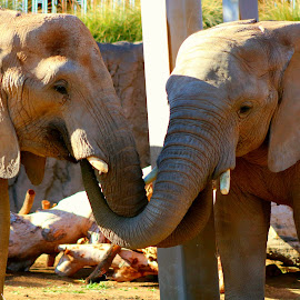 Elephant Love by LaDonna McCray - Animals Other ( love, elephants, two, animals, trunk,  )