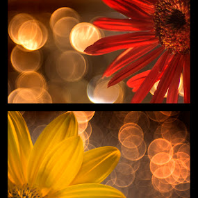 a dream dancing by Lara Zanarini - Nature Up Close Flowers - 2011-2013 ( lights, macro, red, vintage, colors, yellow, flowers )