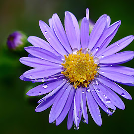 Aster et perles de rosée by Gérard CHATENET - Flowers Single Flower