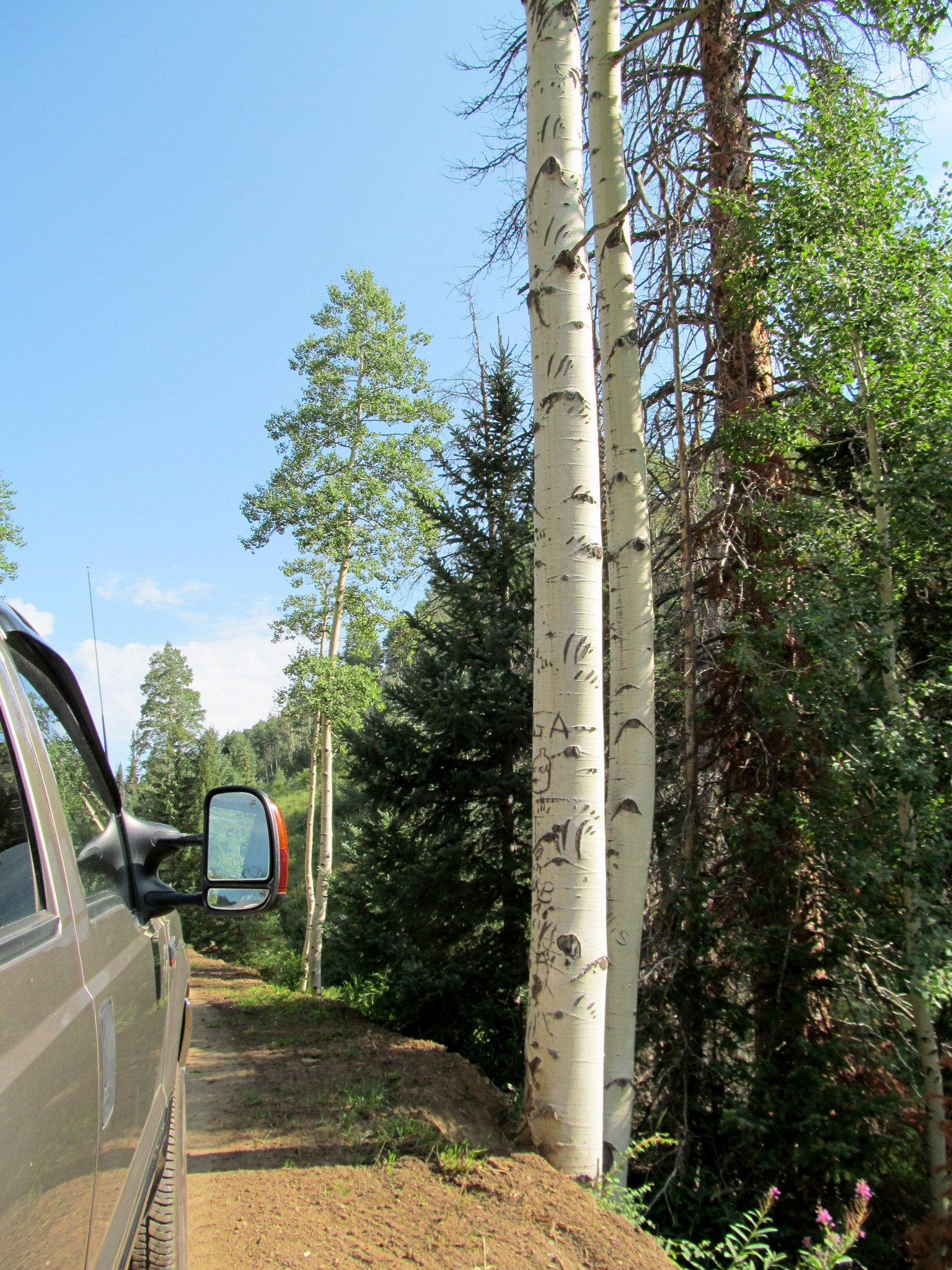 Photo: Bear claw marks going 20 feet up an aspen tree