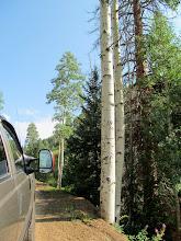 Photo: Bear claw marks going 20 feet up an aspen tree