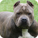 Pit Bull Dog Live Wallpaper icon