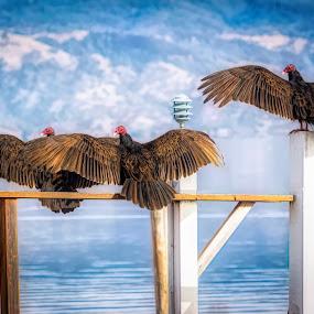 Buzzards on dock by Sharon Leckbee - Animals Birds ( birds of prey, buzzards, birds )