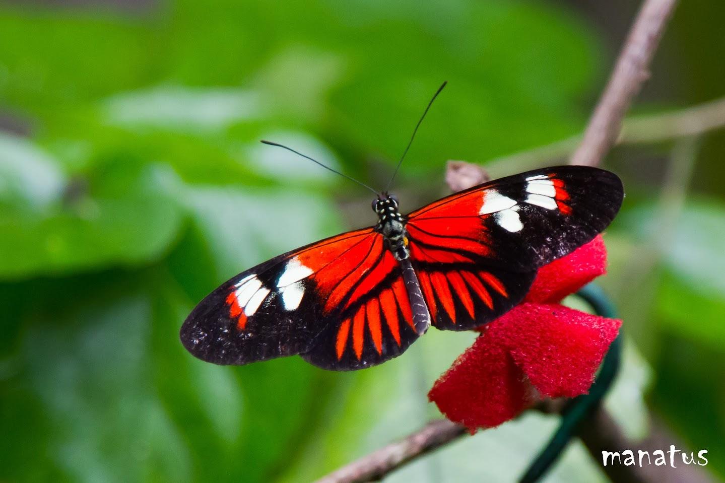 manatus mariposa