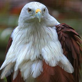 I'll Ride The Sky by Yohanes Arief Dewanto - Animals Birds ( bird, eagle, bald eagle, eagles, animal,  )