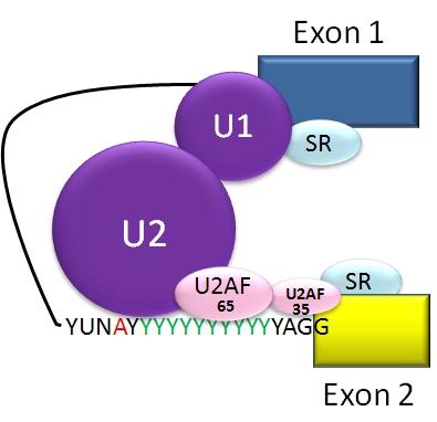 Complexe de spliceosome qui aide à produire de l'ARN messager (ARNm).